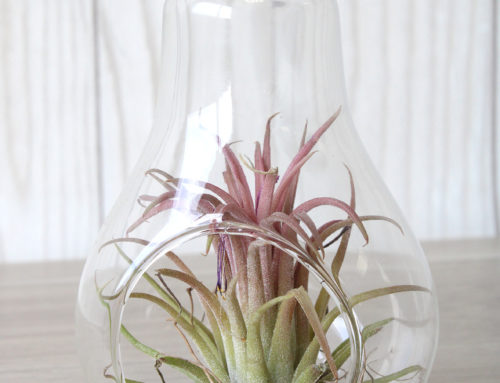 Ampoule TILLANDSIA ' La Fille de l'Air